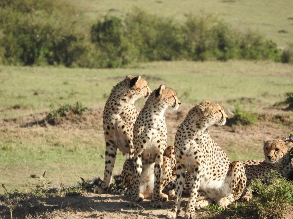 cheetah wildlife